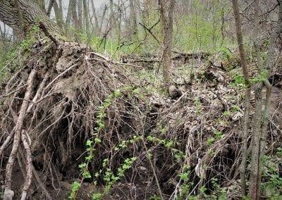 Morel mushroom hunting spot