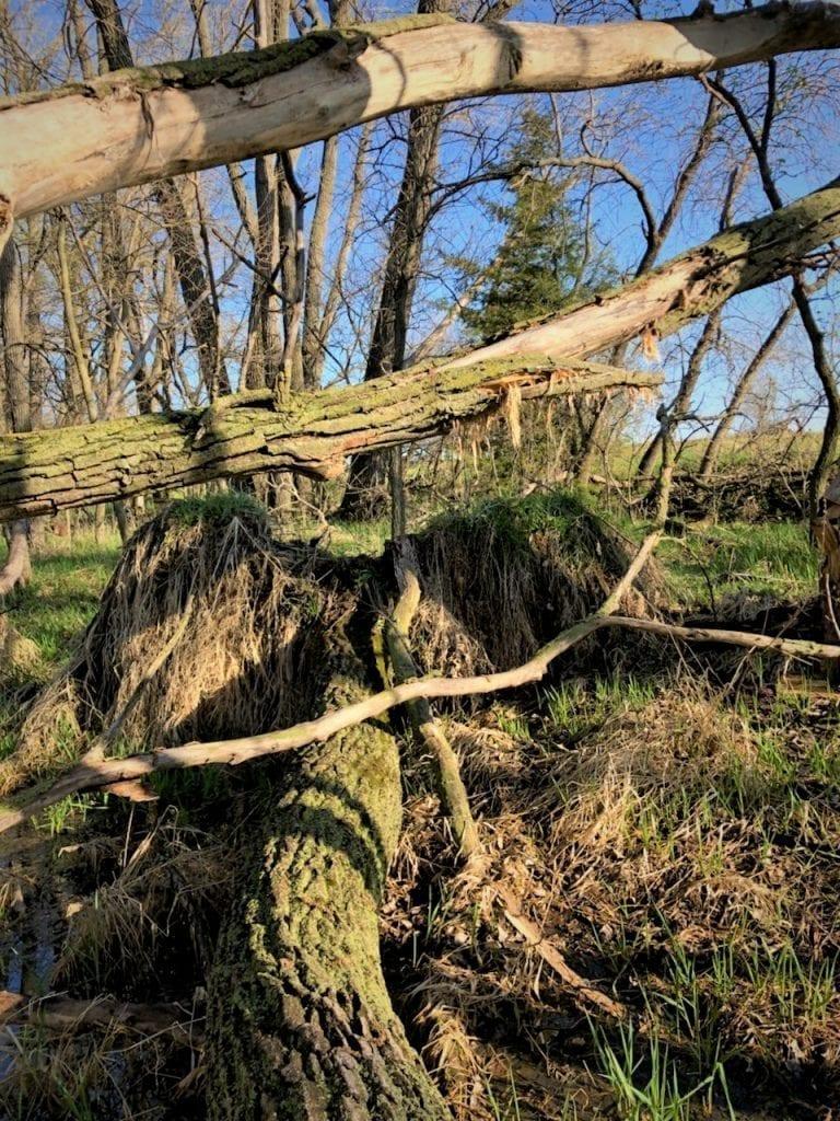 morel mushroom hunting tree