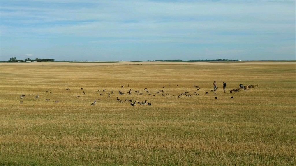 Early Goose hunting spread tips
