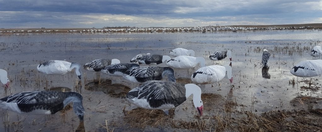 Snow Goose Hunting