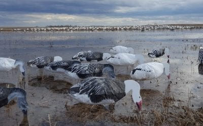 The Truths About Snow Goose Hunting