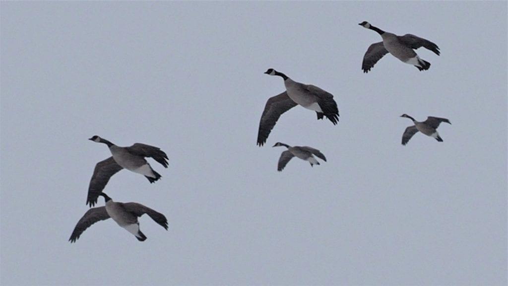 Late season goose hunting tips