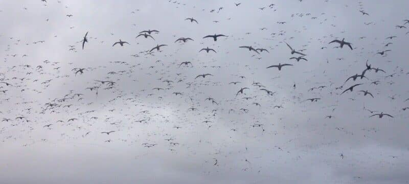 Snow Geese Over Water
