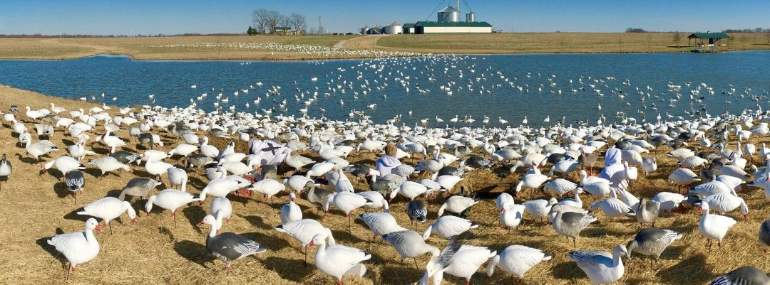 Hunting Snow Geese Over Water 101