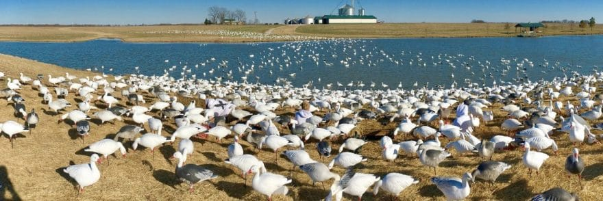 Snow Goose Water Decoy Spread