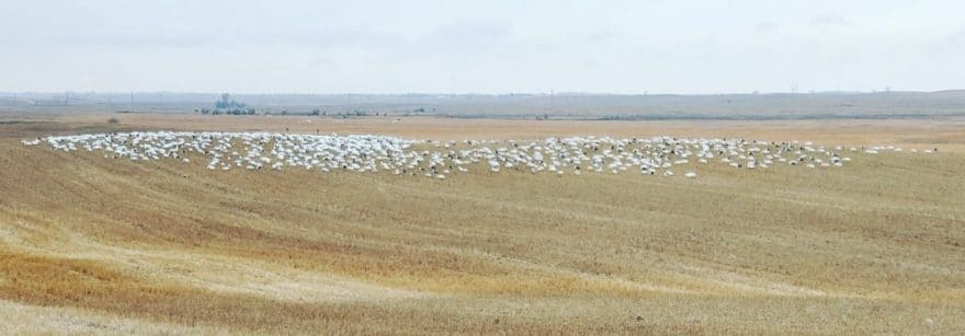 The Truths to Hunting Snow Geese – Part III