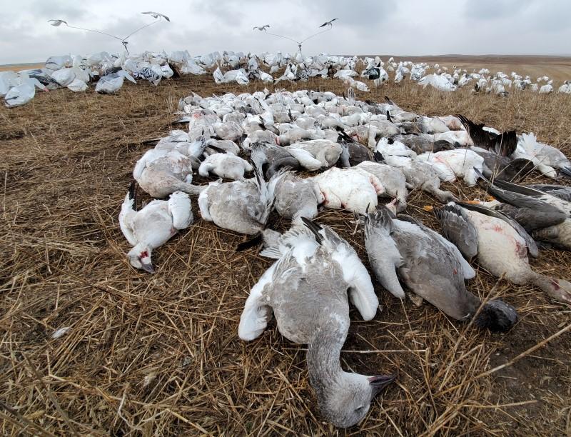 Snow Geese Pile