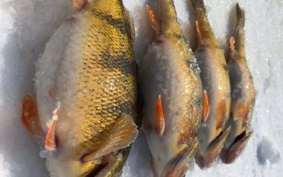 Prairie Pothole JUMBO Perch Ice Fishing – What You Need to Know